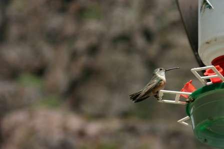hummingbird royal gorge