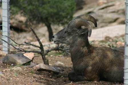 wildlife at royal gorge, bighorn sheep