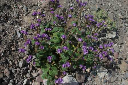 Death Valley National Park - Natural Bridge Trail - Wildflowers