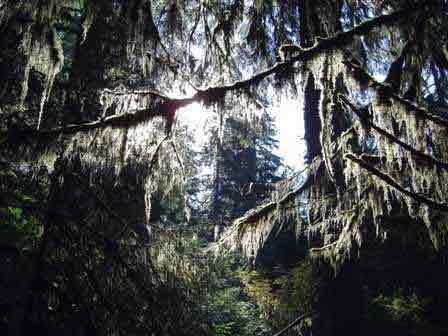 Spruce Nature Trail, Hoh Rainforest