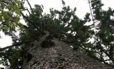 1050_11e_largespruce