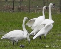 trump-swan-5