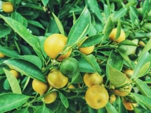 lemons-1149003_640
