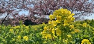 田原町 菜の花