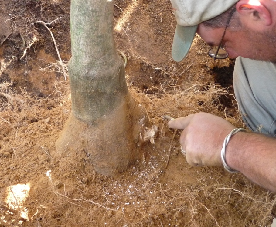 Removing a girdling root from the Japanese maple.  Note the root-ball soil line, four inches up the tree's trunk from the base of the trunk flare.
