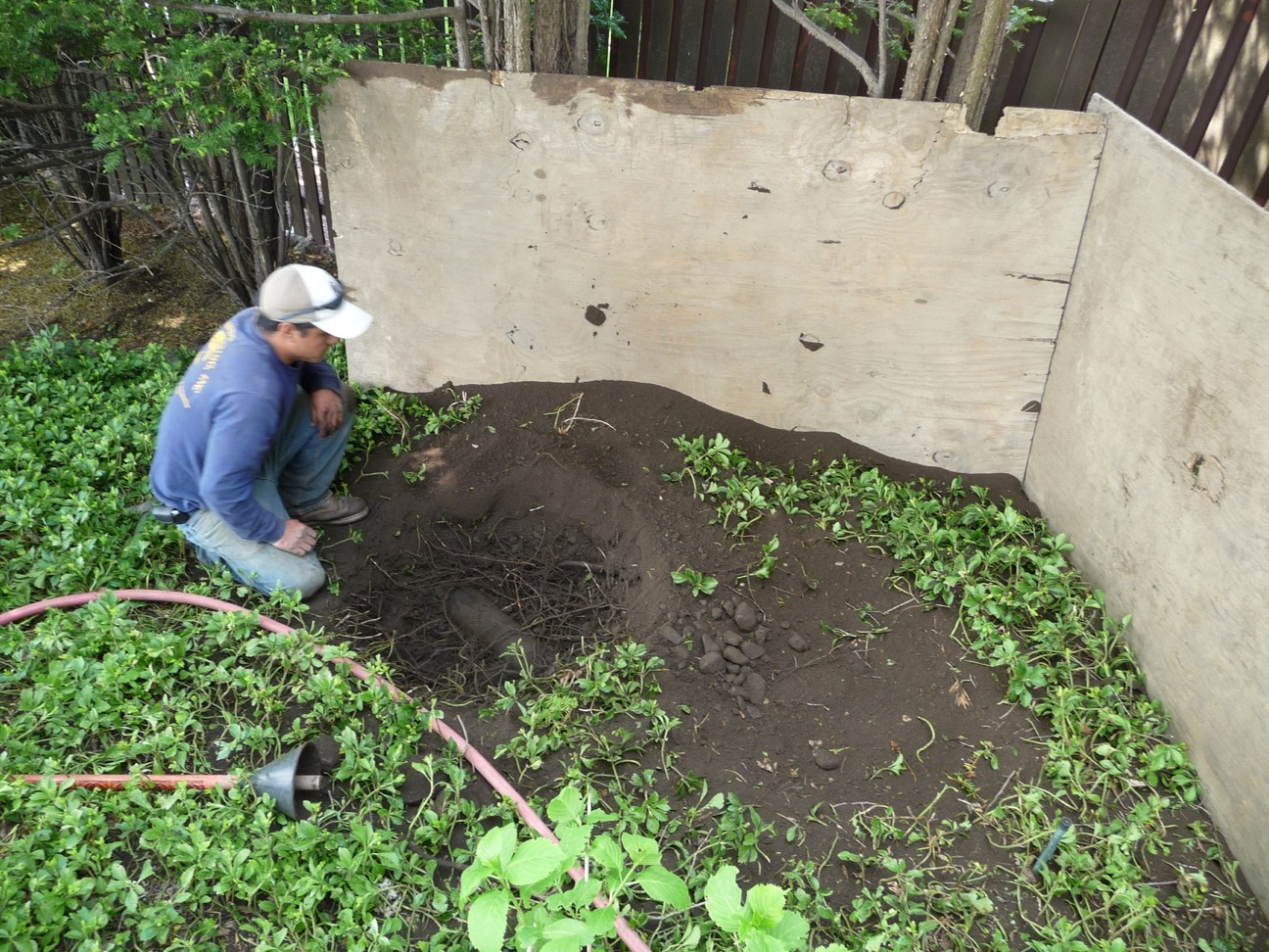 Holes for holly transplants were dug by air tool, to minimize disturbance to the roots of the treeform yew hedge behind the plywood.