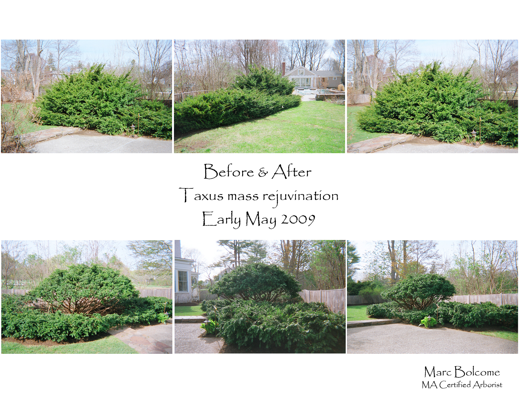 Arborizing the central shrub elevates its crown and showcases the rich cinnamon-red stems