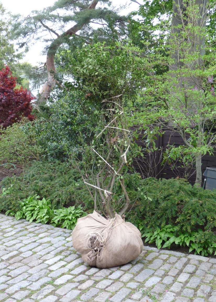 One holly, trussed for moving.  Ten of these plants had been placed on 3' centers to make a hedge; when freed from the hedge, each one opened out to cover at least seven feet in breadth.
