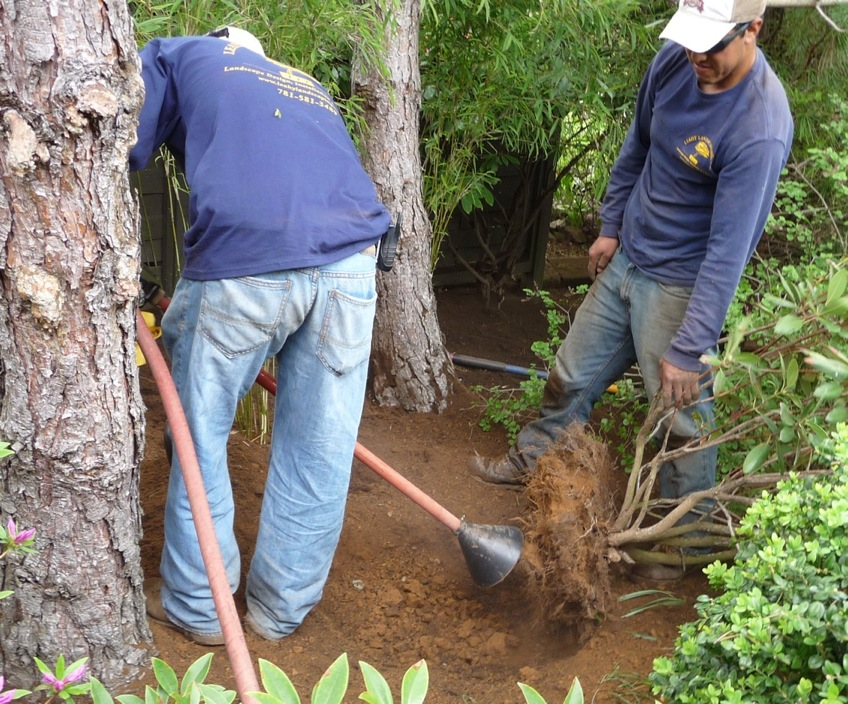 Breaking up the clay soil in the root ball of a 4' rhododendron.