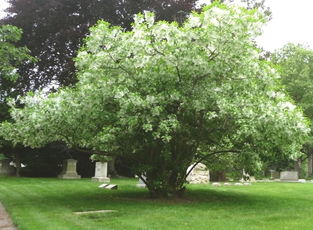 Chionanthus retusus, Swan Point Cemetery