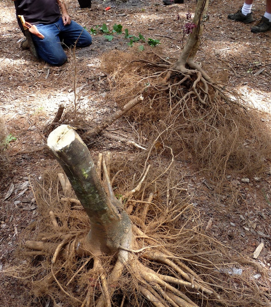These root systems have been cut in the digging process.  In an attempt to regrow roots, the foreground tree has sent out a secondary root system, several of which are beginning to girdle other roots.  Kept too long in a burlapped ball or in a container, roots will often turn back in to the ball, making effective planting and long-term growth problematic.