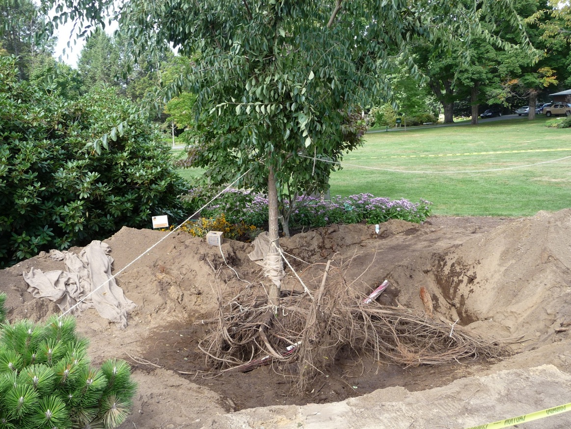Healthy elm tree, soil blown off its roots, ready to be moved.