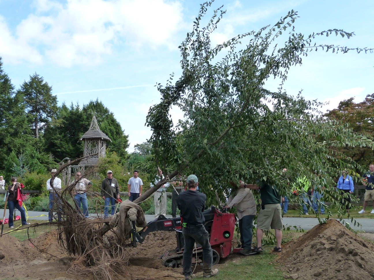 Lowering the elm into its crater.