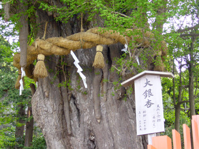 Thousand year old Ginkgo Tree