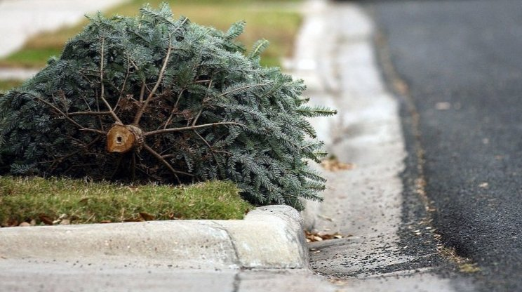 City Arborist Fines Residents for Removing Christmas Trees Without Permit