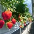 真っ赤に完熟したイチゴがたくさんです