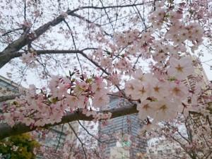 桜の枝に近寄ってみると、蕾があちこちに見受けられます