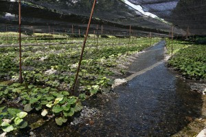 1日15万トンの湧水で育つワサビたち