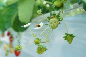 受粉に忙しい西洋ミツバチ