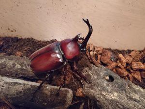 今年孵ったカブトムシのオス