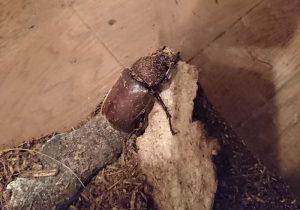 今年孵ったカブトムシのメス