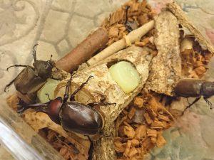 今年孵ったカブトムシたち
