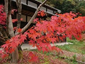 山添村の楓(カエデ/モミジ)の紅葉