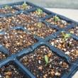 芽吹いてから3日後のマクワ瓜