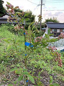 2週間前に植えたブルーベリーの苗