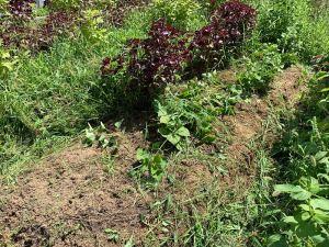 雑草を刈ったらサツマイモの苗が出てきました