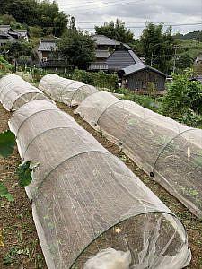 大根の種を蒔いた畝(左)も防虫シートを被せます