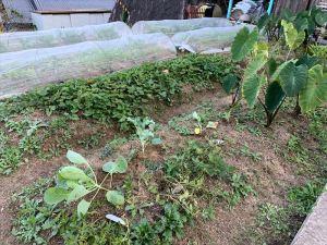 隣の家のおばさんに貰ったキャベツやカリフラワーの苗も植えました