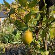 レモンの木につた実
