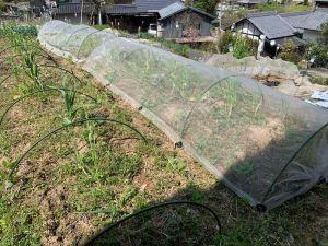 レタスとキャベツを植えたので防虫ネットかぶせます