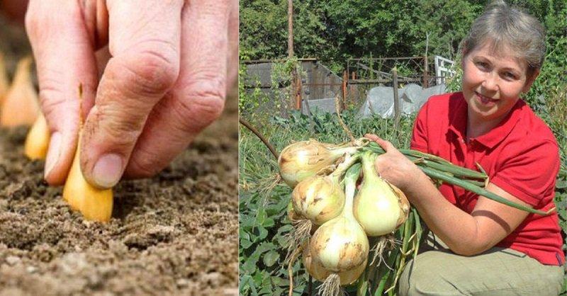 как правильно посадить и вырастить лук