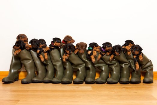 thirteen puppies