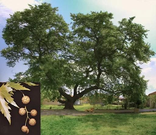 çınar ağacını tanıyalım