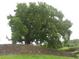 dış budak ağacı hakkında