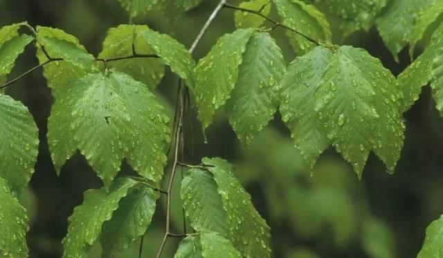 Kayın ağacını tanıyalım