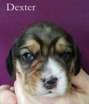 Dexter 2w