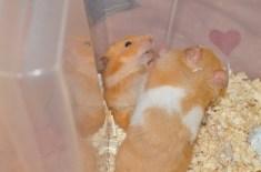 mali-hamster-sirian-3