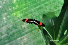 fluturi-tropicali-8