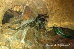 Tarantula cu genunchi aurii