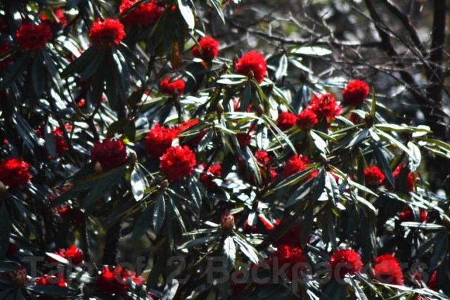Rhododendrons in full bloom