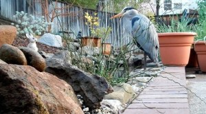 Inspiring story of a Great Blue Heron