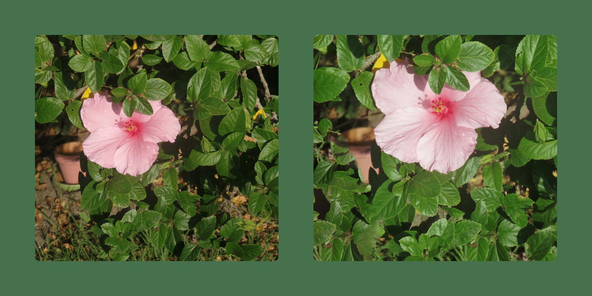 hibisscusedit