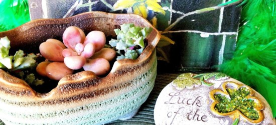 A Succulent plant in a green pot Planted in honor of St Patrick's day.
