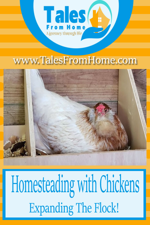 Homesteading With Chickens, Expanding the Flock! #Chickens #homesteading #selfsufficiency #family #poultry #raisingchickens #farmlife #newchicks #chicks