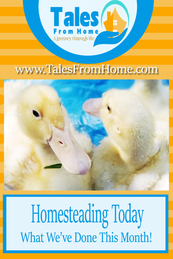Homesteading Today! What We've Done This Month! #Homesteading #countrylife #selfsufficiecy #selfsufficient #livestock #familylife #homesteadinglife #homestead