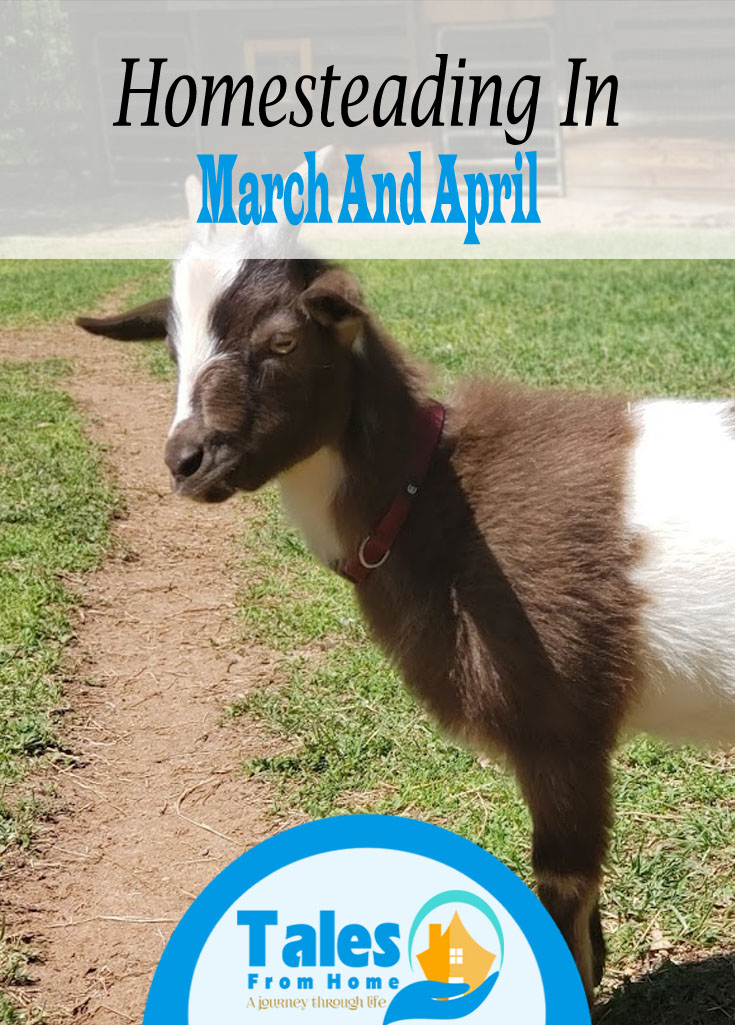 Homesteading in March and April was our first look at how spring would treat us and let me tell you the spring rush is real. #Homesteading #homesteader #newhomestead #countryliving #selfsuffciency #selfsufficient #familyfarm #family #lifestyle